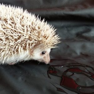 Albino hedgehog sniffing black oily swirl on a black sheets of san francisco fluidproof sheet